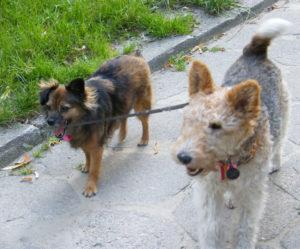 psy do adopcji warszawa