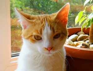 adopcja kota w warszawie - Słoneczko kot do adopcji