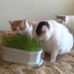 trawka dla kota