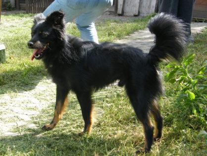 Brutus - pies do adopcji