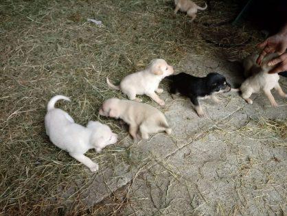 Sunia i szczeniaczki ze stodoły - pilnie szukamy domów