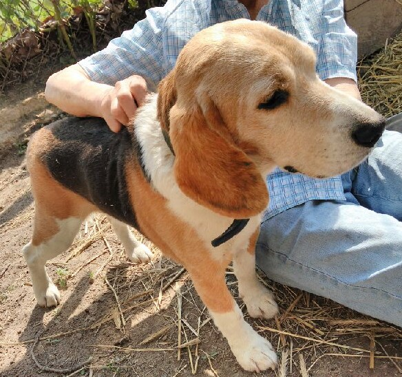 Pilnie szukamy domu dla Beagle