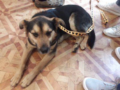 Piesek Hugo wrócił z adopcji